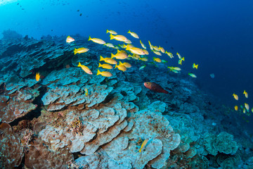 Colorful Snapper on a tropical coral reef