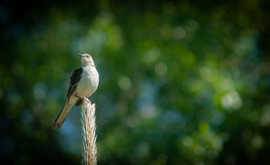 Northern Mockingbird (Mimus polyglottos) Perched on Long Leaf Pine