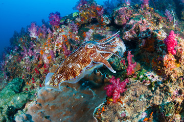 A pair of mating Cuttlefish on a tropical coral reef