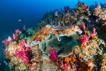 Wall Mural - Mating Cuttlefish on a deep, colorful tropical coral reef