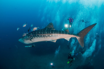 A large Whale Shark is surrounded by SCUBA divers as it swims along a tropical coral reef in Thailand
