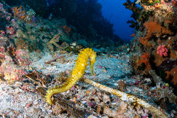 A beautiful large yellow Thorny Seahorse on a tropical coral reef