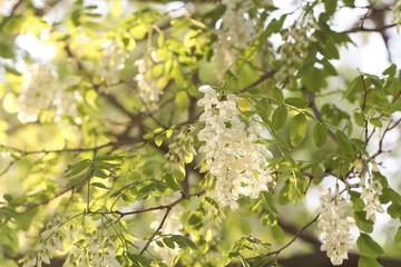 акация дерево цветёт весной