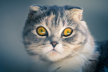 close up of a cute Scottish fold kitten looking at camera .