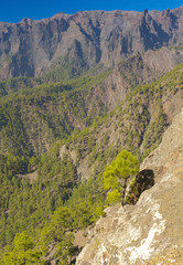 Rocky landscape with pines Pinus canariensis in Caldera of Taburiente, La Palma, Canary Islands