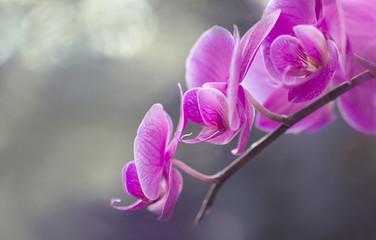 Blumen - Pink Rosa Orchideen (Orchidaceae)