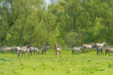 Feral horses in a field in sunlight in spring