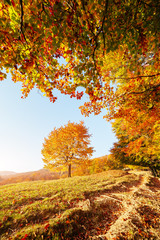 Shiny beech tree on a hill slope with sunny beams. Location Carpathians, Ukraine, Europe.