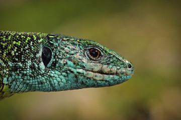 green lizard closeup of head