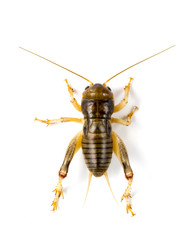 Image of cricket on white background., Insects. Animals