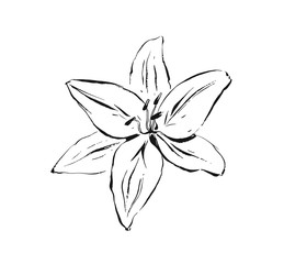 Hand drawn vector abstract artistic ink textured graphic sketch drawing illustration of lilly plant flower isolated on white background
