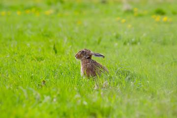 European Brown Hare (Lepus europaeus) in summer farmland setting