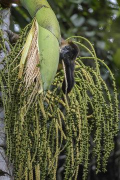 Central American Spider Monkey - Ateles geoffroyi, endangered spider monkey from Cental American forests, Costa Rica.