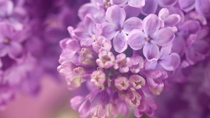 Fotoväggar - Lilac. Blooming lilac closeup over violet background. Spring scene. Opening flowers time lapse. 4K UHD video 3840X2160