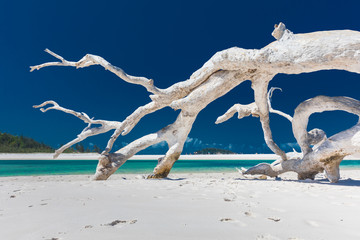 Foto auf Leinwand Tropical strand White driftwood tree on amazing Whitehaven Beach with white sand in the Whitsunday Islands, Queensland, Australia