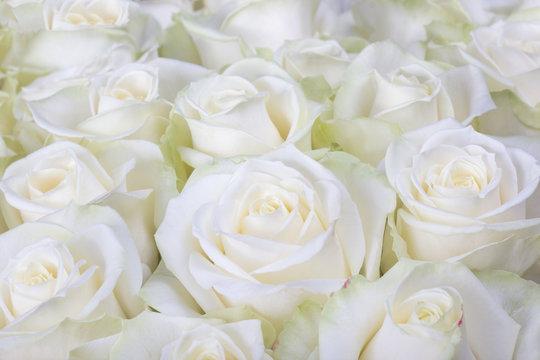 Close-up shot of white roses
