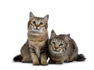 Duo of two Pixie Bob cat kittens sitting straight up and laying down isolated on white background and facing camera