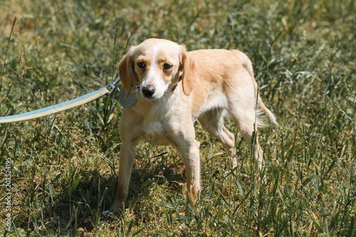 Friendly light brown dog being afraid, scared dog on a walk