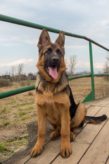 Puppy German shepherd sitting on a wooden bridge