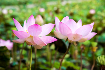 beautiful blooming pink lotus in the pond