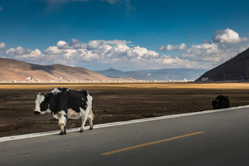 Cows walking along road