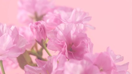 Fotoväggar - Sakura flowers bunch on pink background. Blooming pink sakura time lapse. Fragrant flowers opening closeup. 4K UHD video 3840X2160