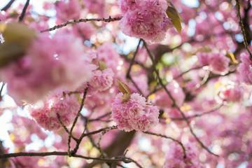 Sakura. Japanese cherry blossom. Spring. Blooming garden. Pink flowers. Heat.