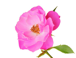 Beautiful Roses (Rosaceae) isolated on white background, including clipping path.  Germany