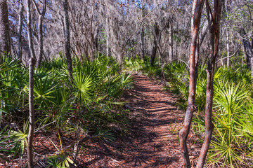 A trail through a dense forest of palmetto and trees covered with spanish moss.