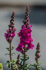 Muflier à grandes fleurs Antirrhinum majus
