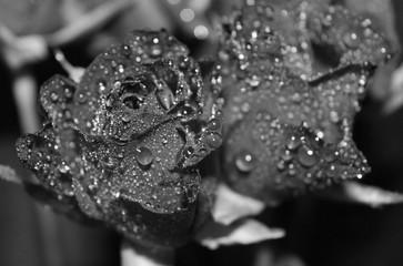 Rosen in schwarz weiß