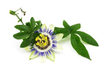 Blaue Passionsblume isoliert