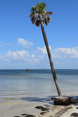 Isolated palm tree on beach shoreline, ocean with boat in background.