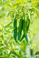 Cloed up green chili in fram show agriculture background