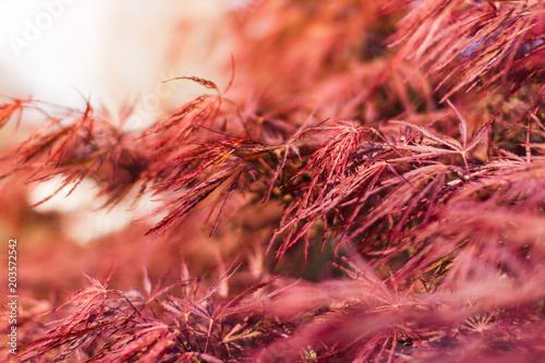 Acer Palmatum Dissectum Atropurpureum At Sunset Acer Palmatum In