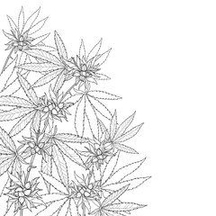 Vector outline Cannabis sativa or Cannabis indica or Marijuana bunch. Corner branch, leaf and seed in black isolated on white background. Contour medicinal plant for summer design or coloring book.
