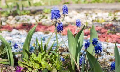 Blue garden flowers on a flower bed