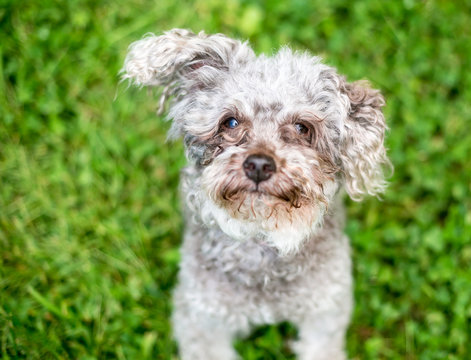 A scruffy Toy Poodle mixed breed dog with tear stains on its face