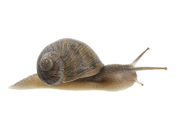 Brown Garden Snail Isolated