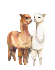 Lamas. Pair.Watercolor illustration on white background.Isolated.