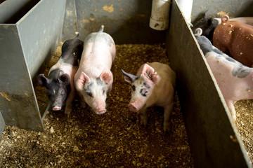 Three pigs in a bin