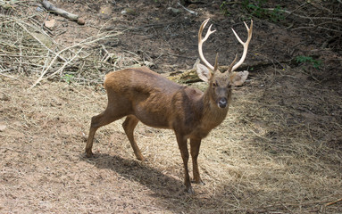a beautiful deer with antler