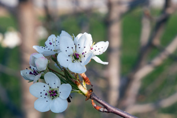 With a bokeh background this close up view of a pear tree bloom is gorgeous.