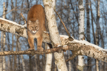 Deurstickers Puma Adult Female Cougar (Puma concolor) Squints in Tree