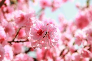 桃の花 満開