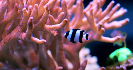 Black Stripe damselfish