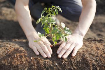 トマト、植える