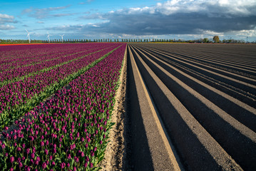 Wall Mural - Field with rows and tulips