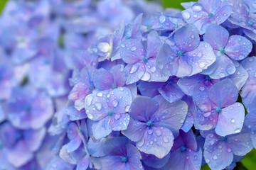 Poster Hydrangea 雨上がりの紫陽花 Hydrangea