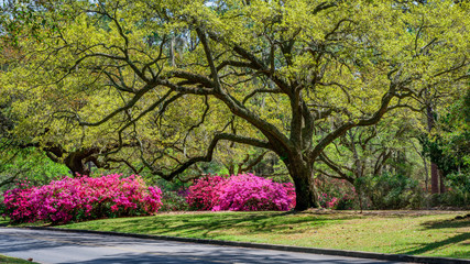 Spoed Foto op Canvas Azalea Azalea Garden in Spring - South Carolina with Live Oaks